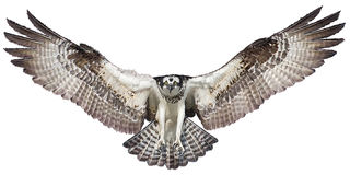 Osprey hawk landing vector. Osprey hawk winged landing hand draw and paint on white background vector illustration Stock Photos