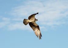 osprey Het stijgen hoog zoekt binnen voedsel Royalty-vrije Stock Foto