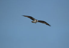 Osprey With His Wings Stretched Stock Image