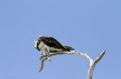 Osprey holding a fish in its talons Stock Photos