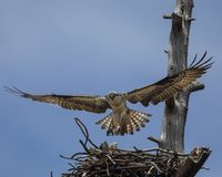 Osprey hovered over nest. The Osprey spent their time alternately guarding the nest and then flying off to catch a fish and bringing it back for their two chicks royalty free stock photo