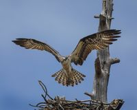 Osprey hovered over nest. The Osprey spent their time alternately guarding the nest and then flying off to catch a fish and bringing it back for their two chicks royalty free stock images