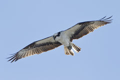 Osprey Hovering Against a Blue Sky Stock Image