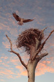 Osprey Hovers Over It's Nest as the Sunsets Stock Photography