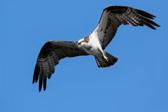 Osprey on the hunt Royalty Free Stock Photography