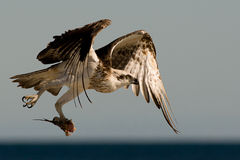 Osprey Hunting. An Osprey in flight with a fish   against the sea Royalty Free Stock Images