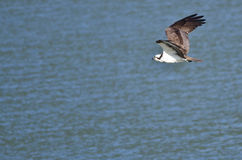 Osprey Hunting as It Flies Low Over the Water Stock Photography