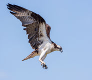Osprey hunting in flight isolated against a blue sky Royalty Free Stock Images