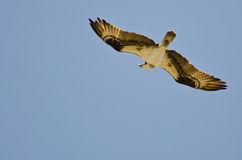 Osprey Hunting on the Wing Royalty Free Stock Photography