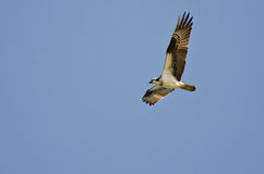 Osprey Hunting on the Wing in a Blue Sky Stock Photo