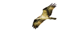 Osprey Hunting on the Wing on a White Background Royalty Free Stock Photos