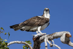 Osprey II Royalty Free Stock Photos