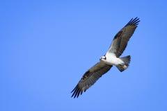 Osprey im Flug Lizenzfreies Stockfoto