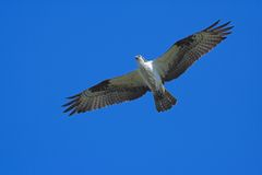 Osprey im Flug Stockfotos