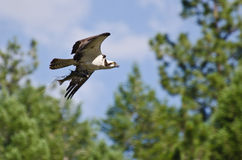 Osprey im Flug, der einen Fisch trägt Stockbilder