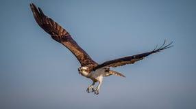 Osprey im Flug mit blauem Himmel Stockbilder