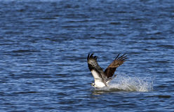 Osprey im Wasserfischen Lizenzfreie Stockfotografie