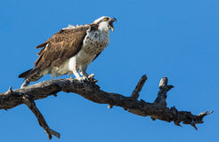 Osprey. An image of a perched Osprey Stock Images