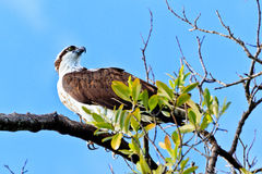 Osprey. This image of an Osprey was captured on Sanibel Island in Florida Royalty Free Stock Photo