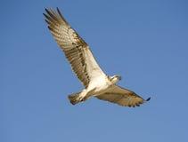 Free Osprey In Flight Royalty Free Stock Photo - 19096255