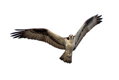 Osprey isolado Fotos de Stock
