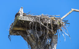 Osprey and Its Baby Sitting in the Nest. Against the Blue Sky Royalty Free Stock Photos