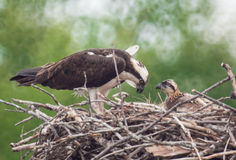 An Osprey in its nest with baby. An osprey with it's baby in nest Stock Photos