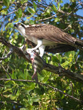 Osprey-J N Ding Darling Wildlife Refuge-Sanibel Island Royalty Free Stock Photo