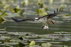 Osprey just caught a fish. An osprey just caught a fish in Fernan Lake in North Idaho Royalty Free Stock Photo
