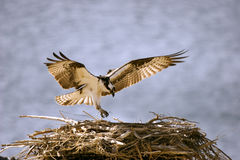 Osprey Landing. A Osprey landing in its nest Royalty Free Stock Images