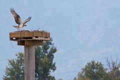 Osprey landing Royalty Free Stock Photography