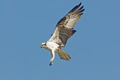 Osprey Landing Stock Photos