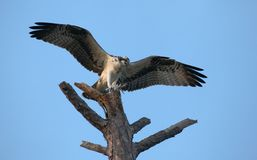 Osprey landing on a dead tree Stock Photo