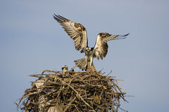 Osprey landing with a fish. An Osprey comes in for a landing on the nest with a fish for his mate Royalty Free Stock Images