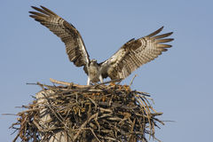 Osprey landing on the nest. An Osprey landing on the nest after a good breakfast Royalty Free Stock Photos