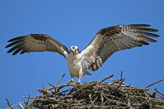 Osprey Landing in Nest Stock Photo
