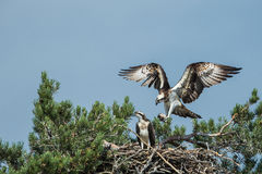 Osprey landing on the nest Royalty Free Stock Images