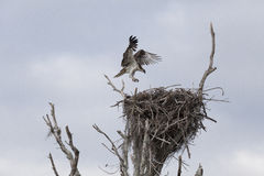 Osprey Landing on Nest. A Florida Everglades osprey returns to the nest after searching for food and nesting materials. A pair of Ospreys guarded the nest stock photo