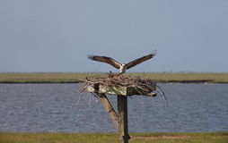 Osprey landing on nest with mate Royalty Free Stock Photos