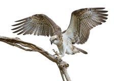Osprey landing Podargus strigoides Stock Images
