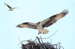 Osprey Landing on it's Nest With Her Mate Flying in with a Fish Royalty Free Stock Images