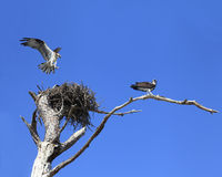 Osprey Lands on Nest as It's Mate Stands Guard Stock Photography