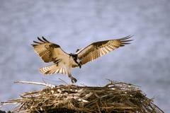 Osprey-Landung Lizenzfreie Stockbilder