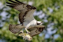 Osprey with a large mouth bass. A male osprey bringing a large mouth bass back to the nest for his family in Crown Point, NY Adirondacks. This image was taken by Stock Photo
