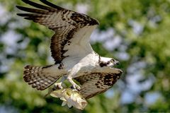 Osprey with a large mouth bass. An osprey carrying a large mouth bass back to the nest for his family. This image was taken in Crown Point, NY Adirondacks, by Stock Photo