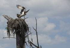 Osprey Leaves Nest - Deer Point Lake Royalty Free Stock Photo