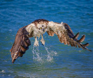 Osprey leaving water with out his catch Stock Photo