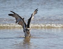 Osprey lifts its wings. After bathing in the shallows Stock Photos