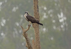 Osprey Looking for Fish Stock Images