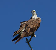Osprey..Looking At You. Royalty Free Stock Photography